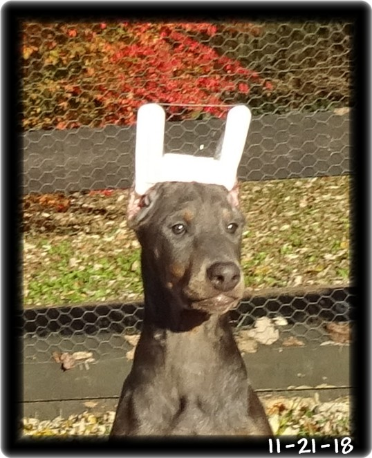 Apollo - Coronado's Apollo Von Hoytt  born 9-3-18 ... Zoey & Max pup / Home - Tulsa OK