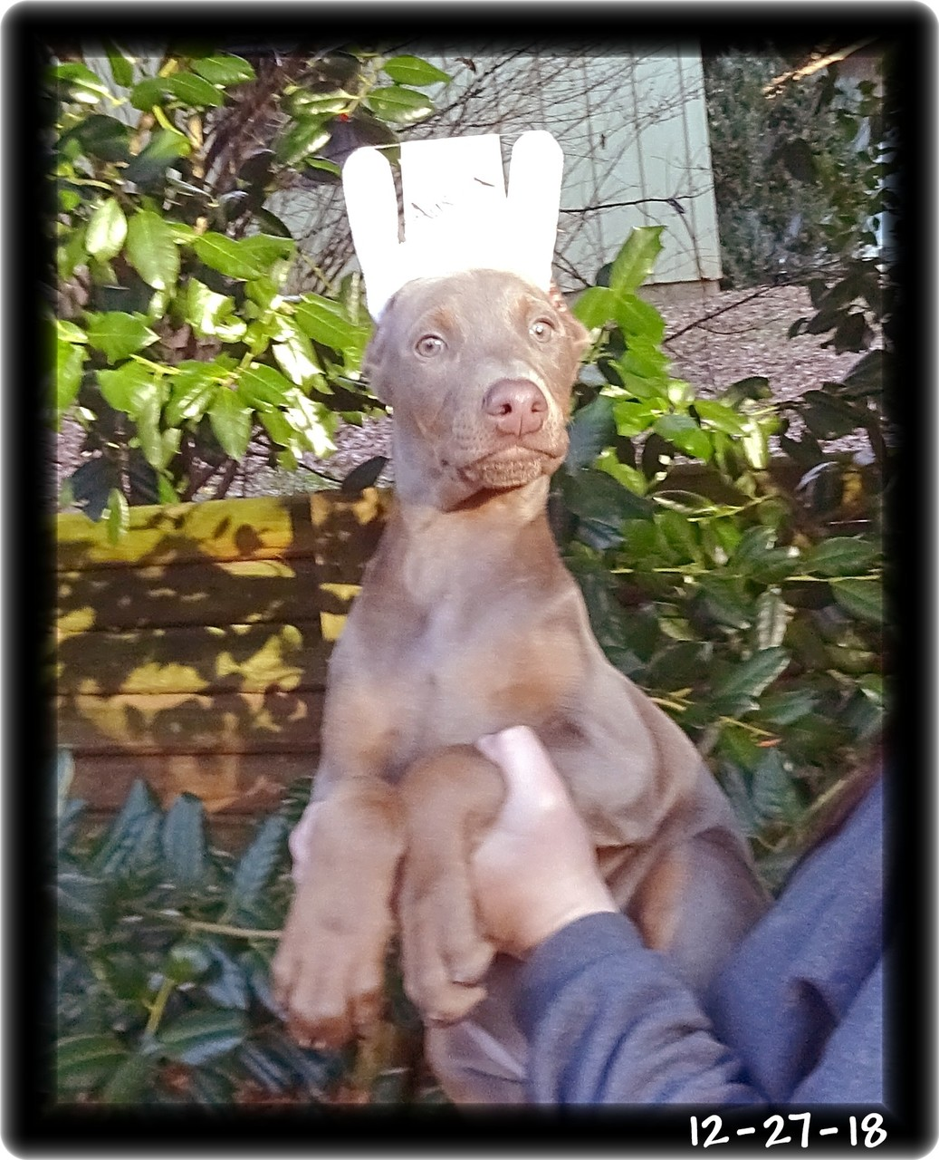 Aurora ... Miska & Kodiak pup born 10-20-18 / fawn   now home in Hernon VA.