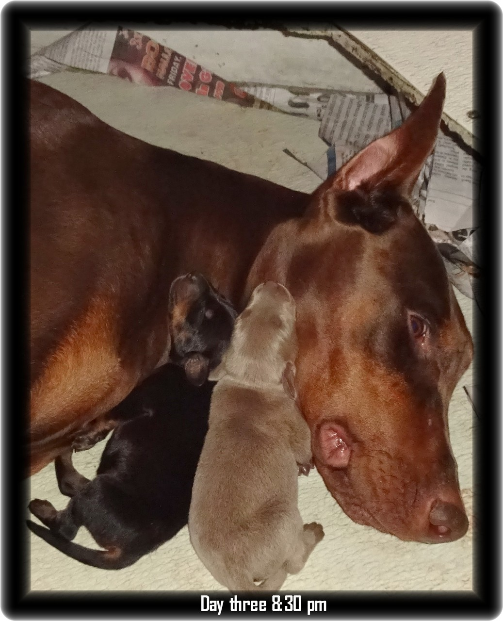 Skona ... Miska & Kodiak pup born 10-20-18... now at home in Kingsport TN