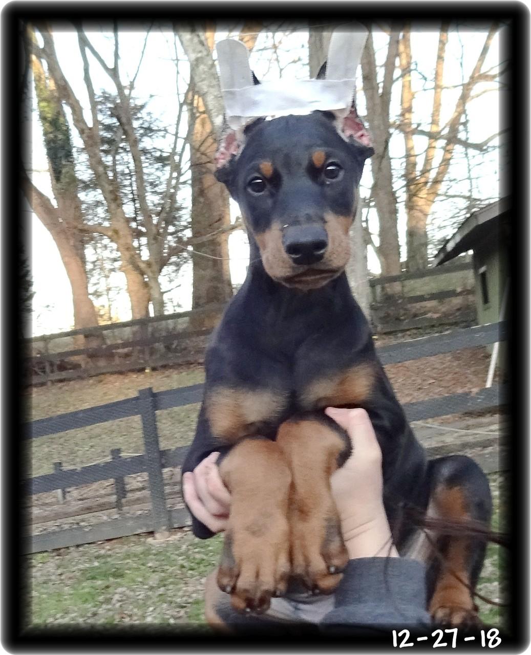 Skona ... Miska & Kodiak pup born 10-20-18... now at home in Kingsport TN