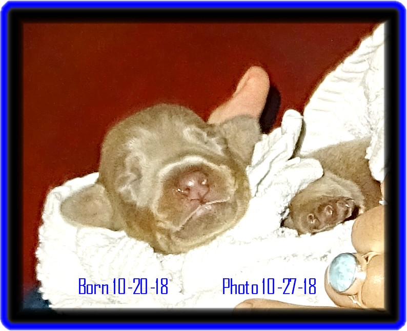 Baxter - Miska & Kodiak  pup in training ... fawn boy born 10-20-18 outstanding color and texture - In training -  reserved heading to Springfield MO after  graduation.