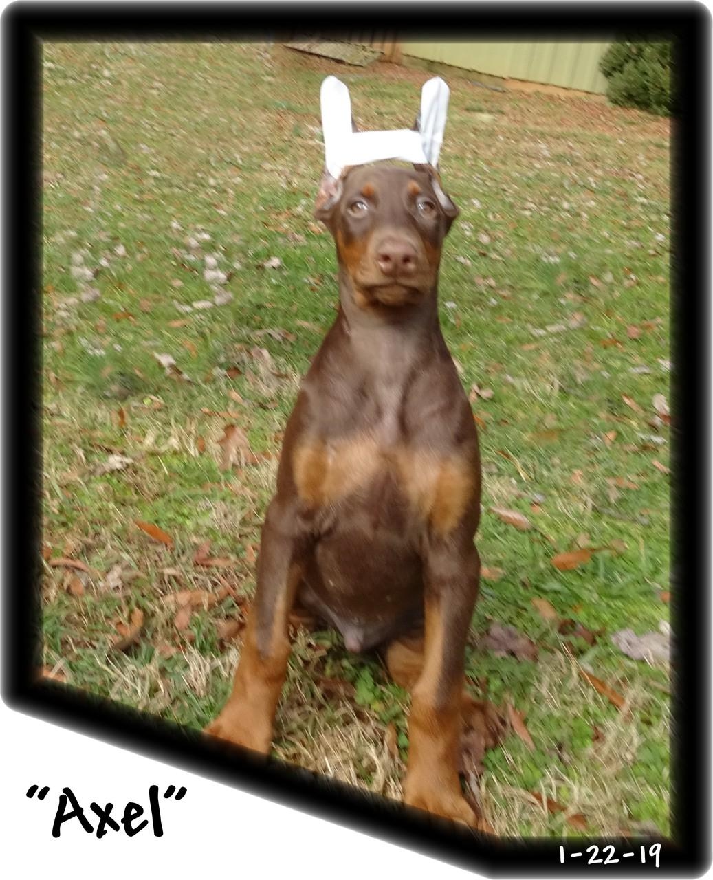 Axel...Delilah & Kodiak pup born 11-12-18
