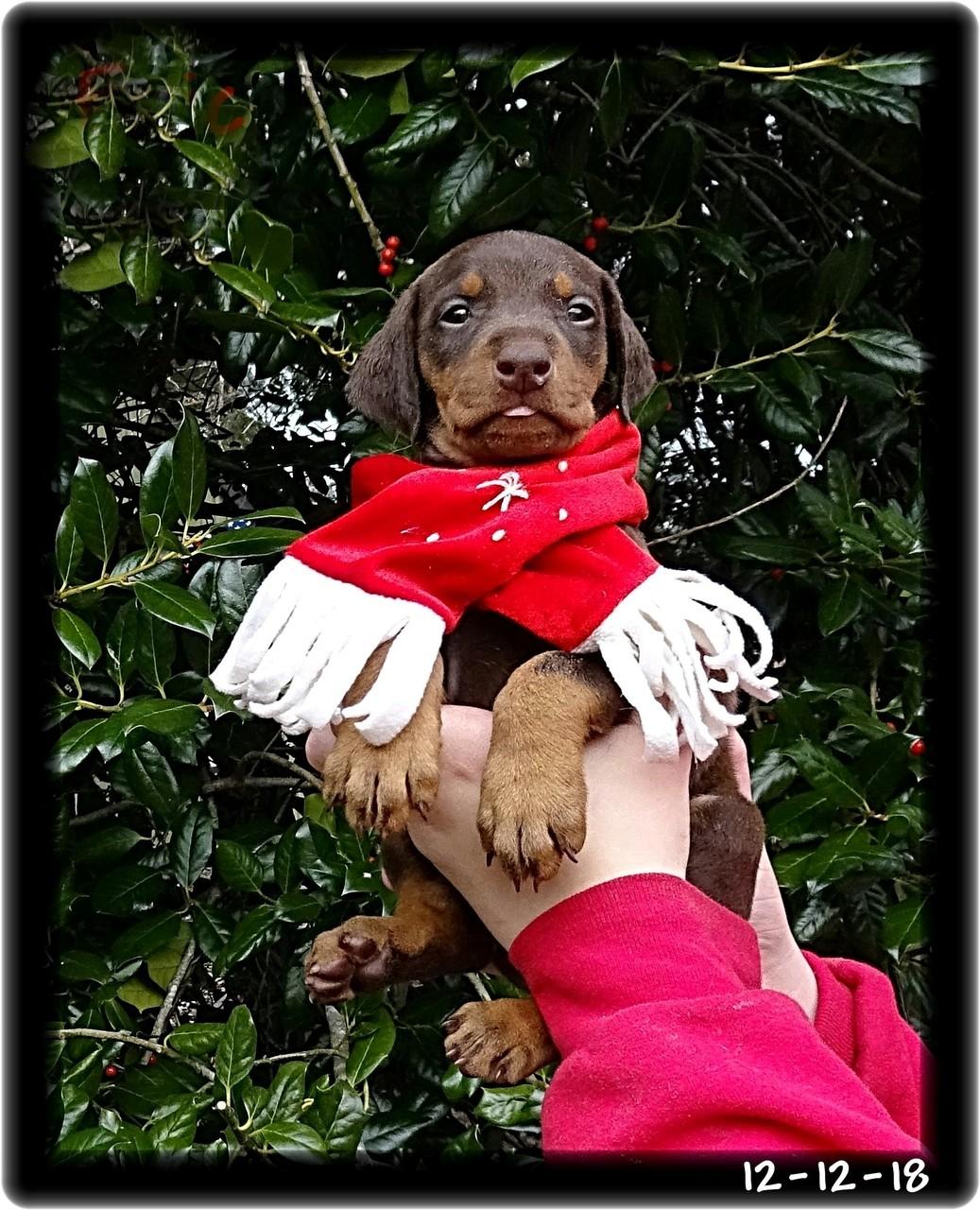 Axel...Delilah & Kodiak pup born 11-12-18 - Available