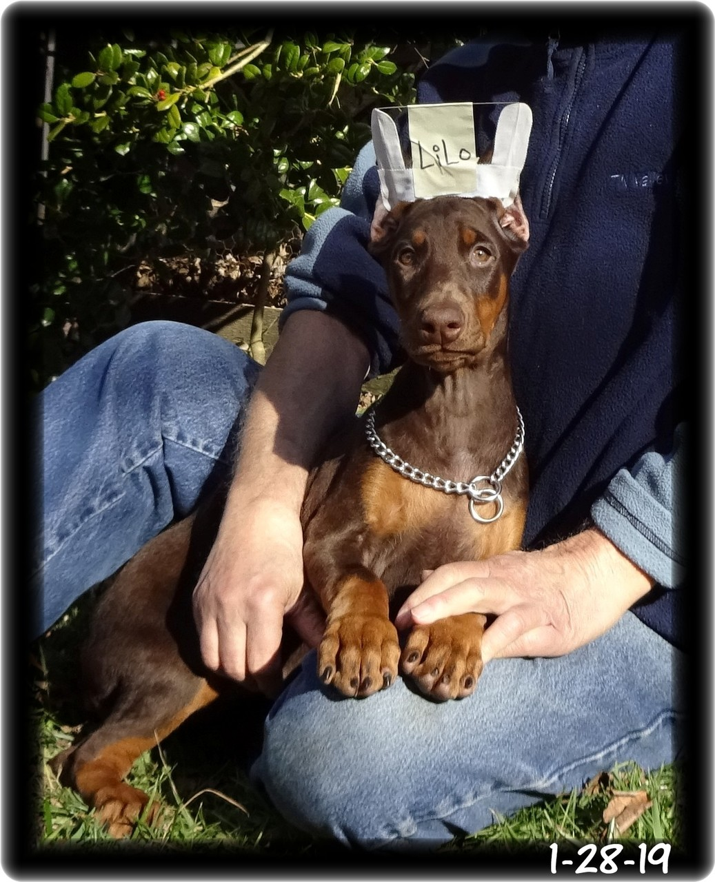 Lilo - Delilah & Major pup - born 11-12-18 ... available