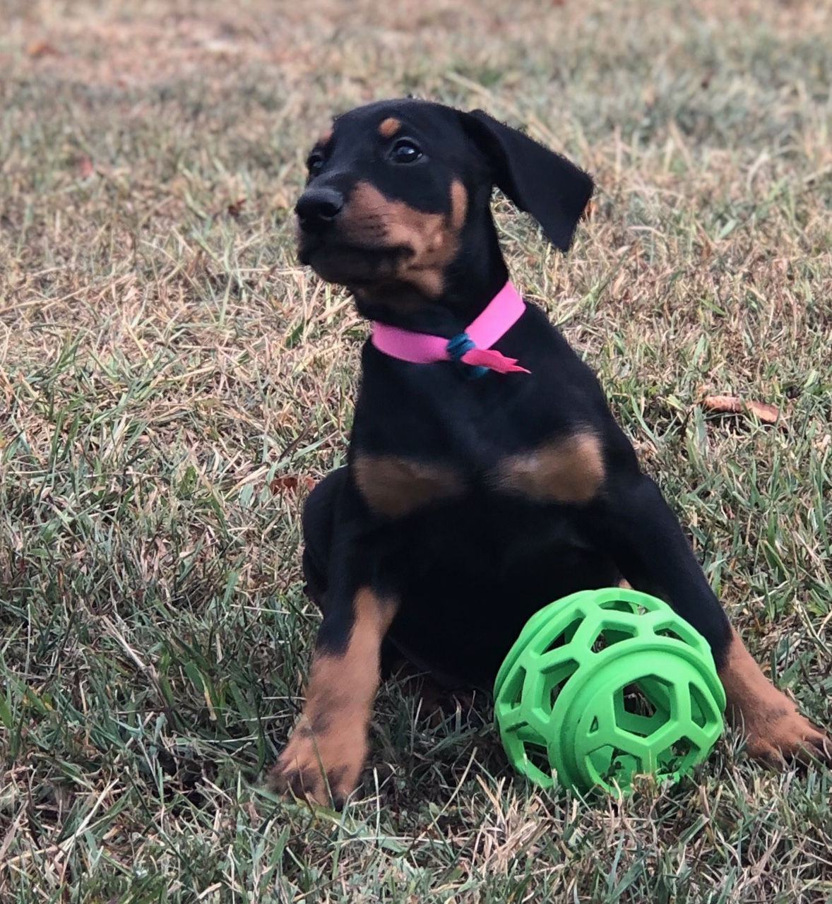 Glory was Zeva - formally Hoytts Bound for Glory born 7-21-19  Greta & Caspian pup ... Now a staff companion and future competitor  Family Dane & Noel Wester. - click her photo to learn more.