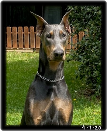 """Flinn aka """"The Errol"""" ... CYA with CGC certification-   He is  with his family in VA. See his future house mate - """"Ruby"""""""