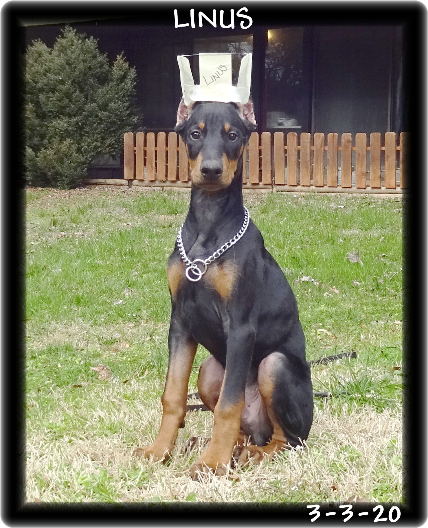 "Linus .. Buffy pup in Super Pup 2 PLUS program. This sharp mind with 'killer' style is quite personable & social. Picked up on Fathers Day & a nine year old Hoytt girl will be waiting ready to teach ""YES DEAR"".  Pennsylvania - established client."