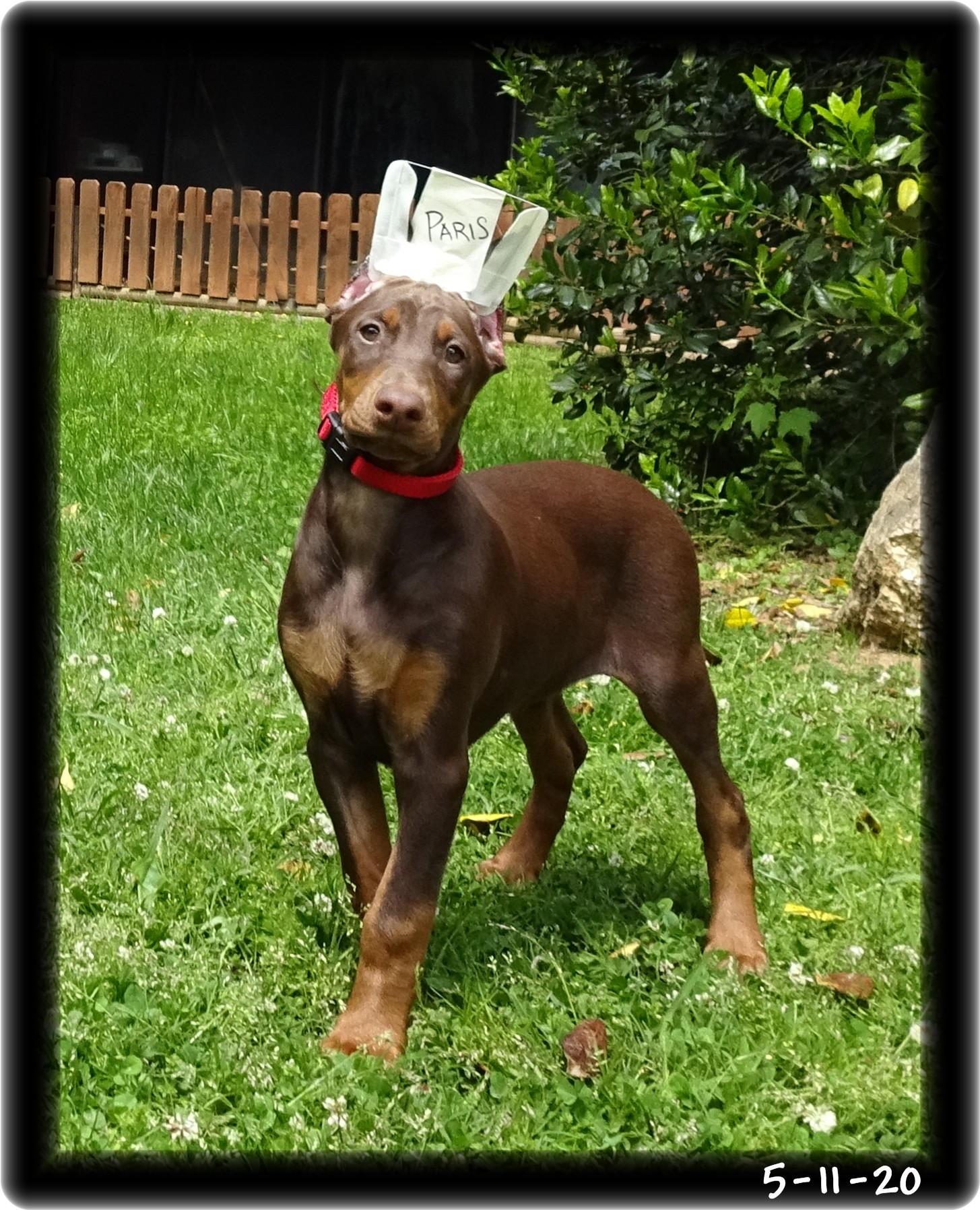 Paris ... Miska's strikingly red star - HOME ... A Super Pup 2 program graduate now in Louisiana - established client. Future Therapy Companion too.