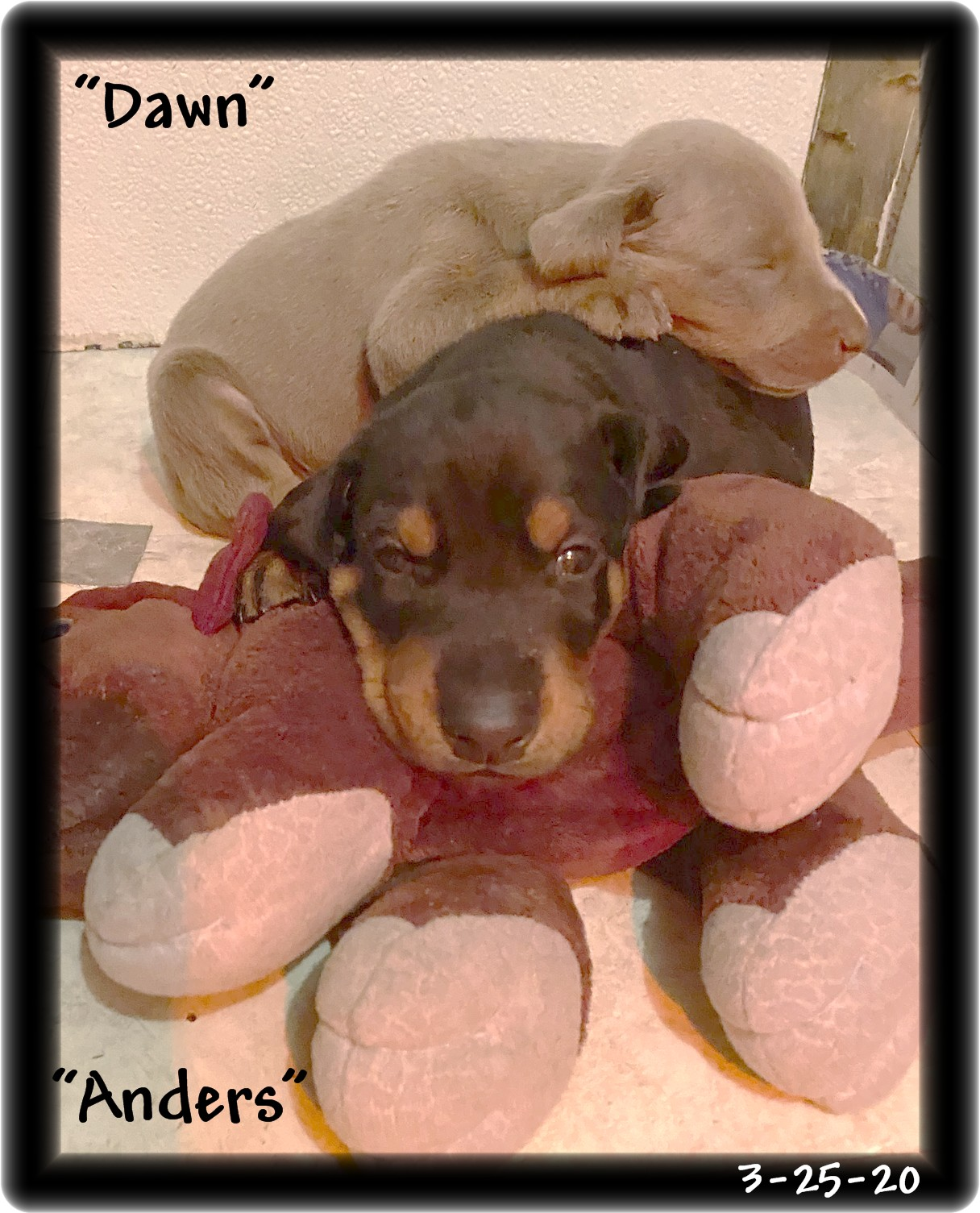 Dawn ... Miska fawn girl born 2-29-20 she sure is one of our GOLDEN KIDS ... AVAILABLE - and yes her eyes will match her beautiful primary color. After all she is a Hoytt!