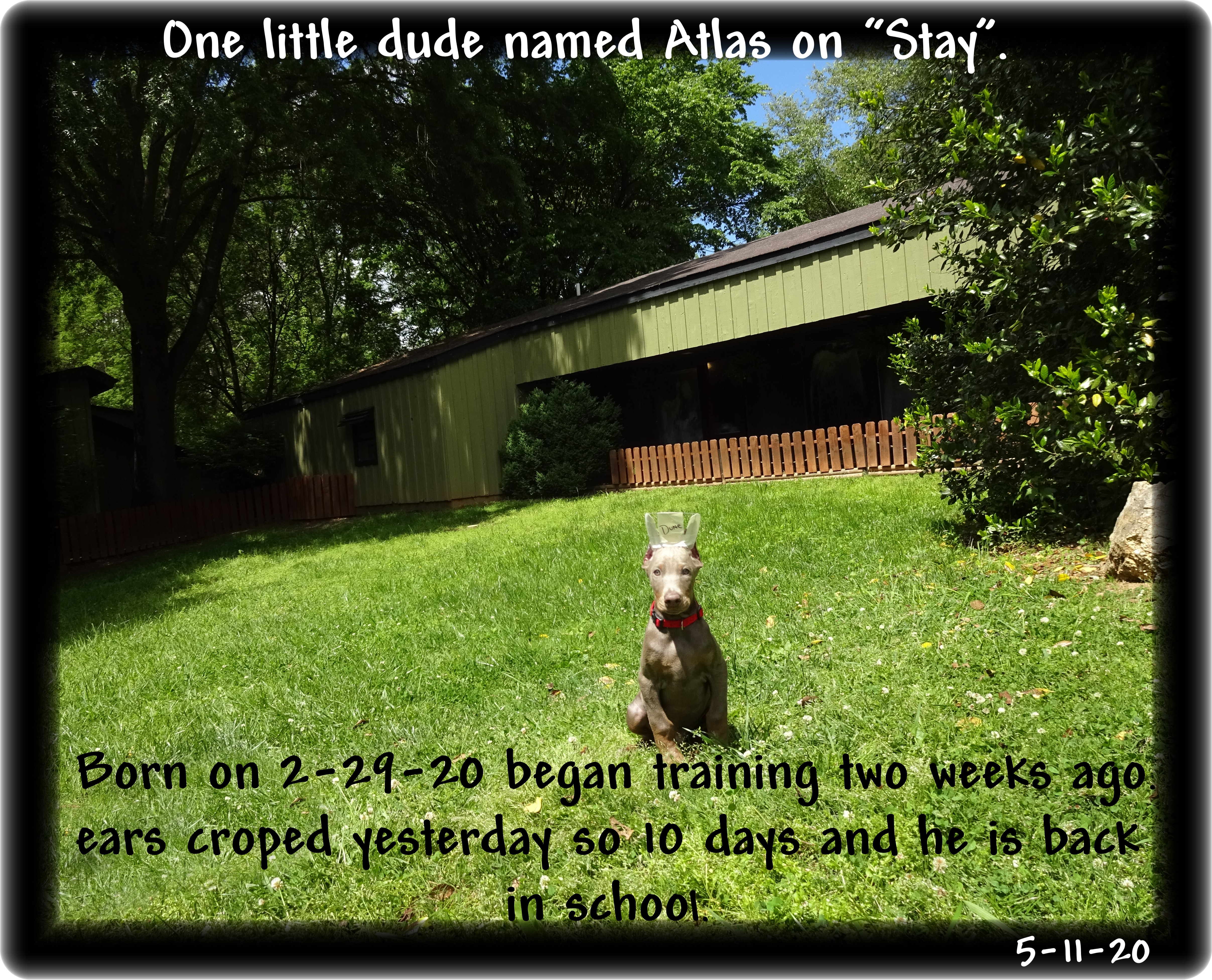 Atlas...Miska & Kodiak kid born 2-29-20 one of our Golden Boys & a Leap Year kid - a great personality with a great color for a Therapy Canine- finished his training ...  - Oh boy he is home.
