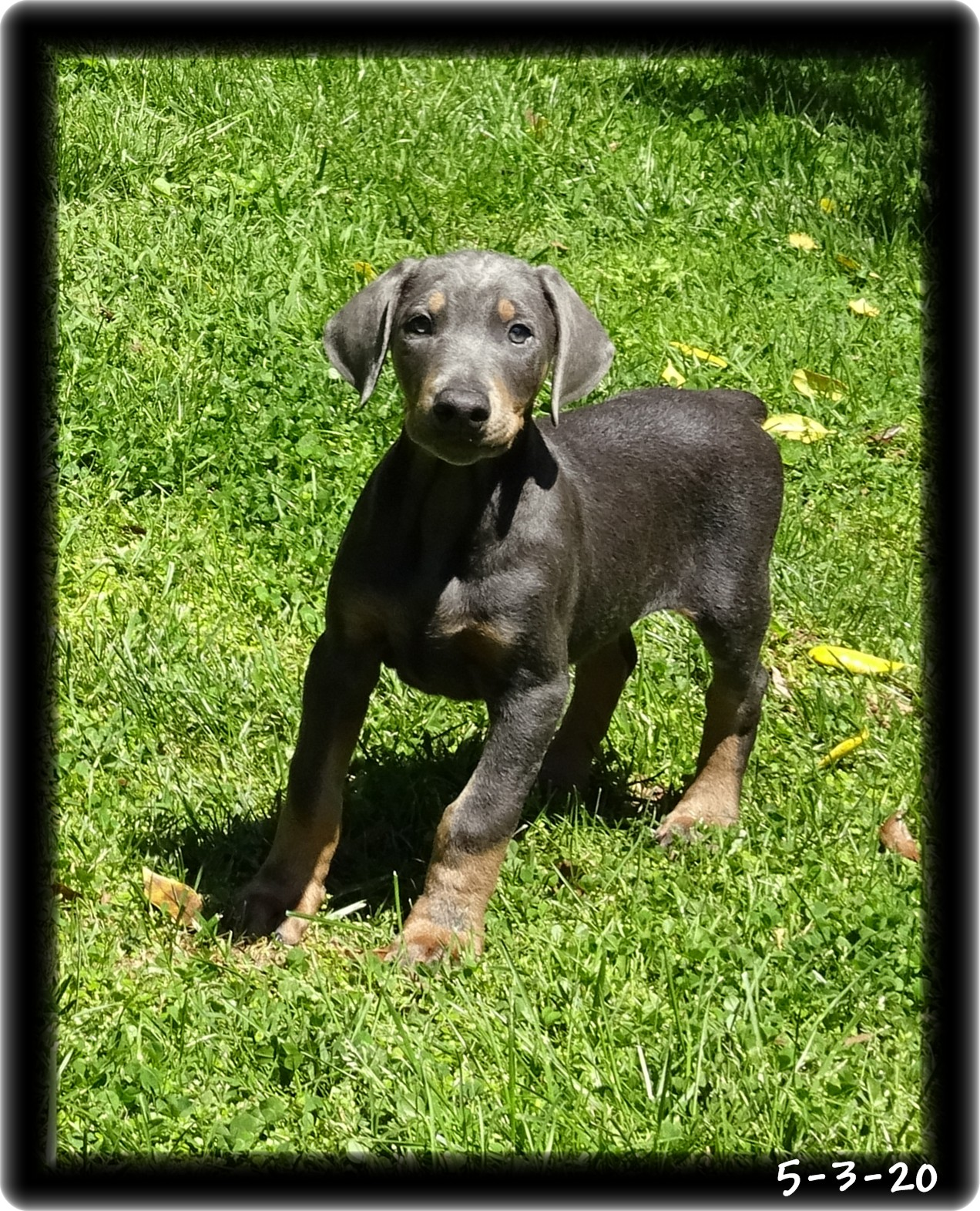 Blu ...  born 2-29-20 -  PLACED - his buddy Mason different residence. Both establish clients ... Massachusetts - both delivered