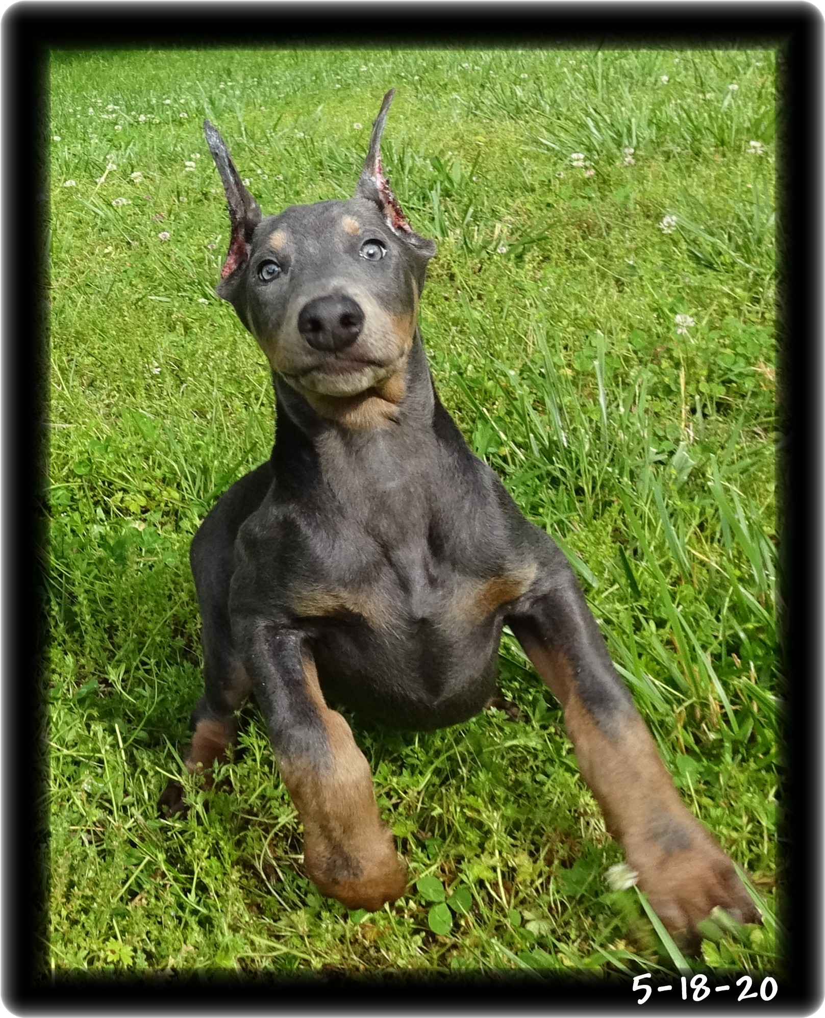 Blu ...  born 2-29-20 -  PLACED - will be a buddy to Mason different residence. Both establish clients ... Massachusetts - both delivered