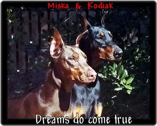 Miska daughter of Mr. Hoytt's London & sire Kodiak plus Aurora from their 1st litter, - all 3 are housemates  - next photo all 3 napping together -their pups born 4-25-21... a rainbow litter as expected.