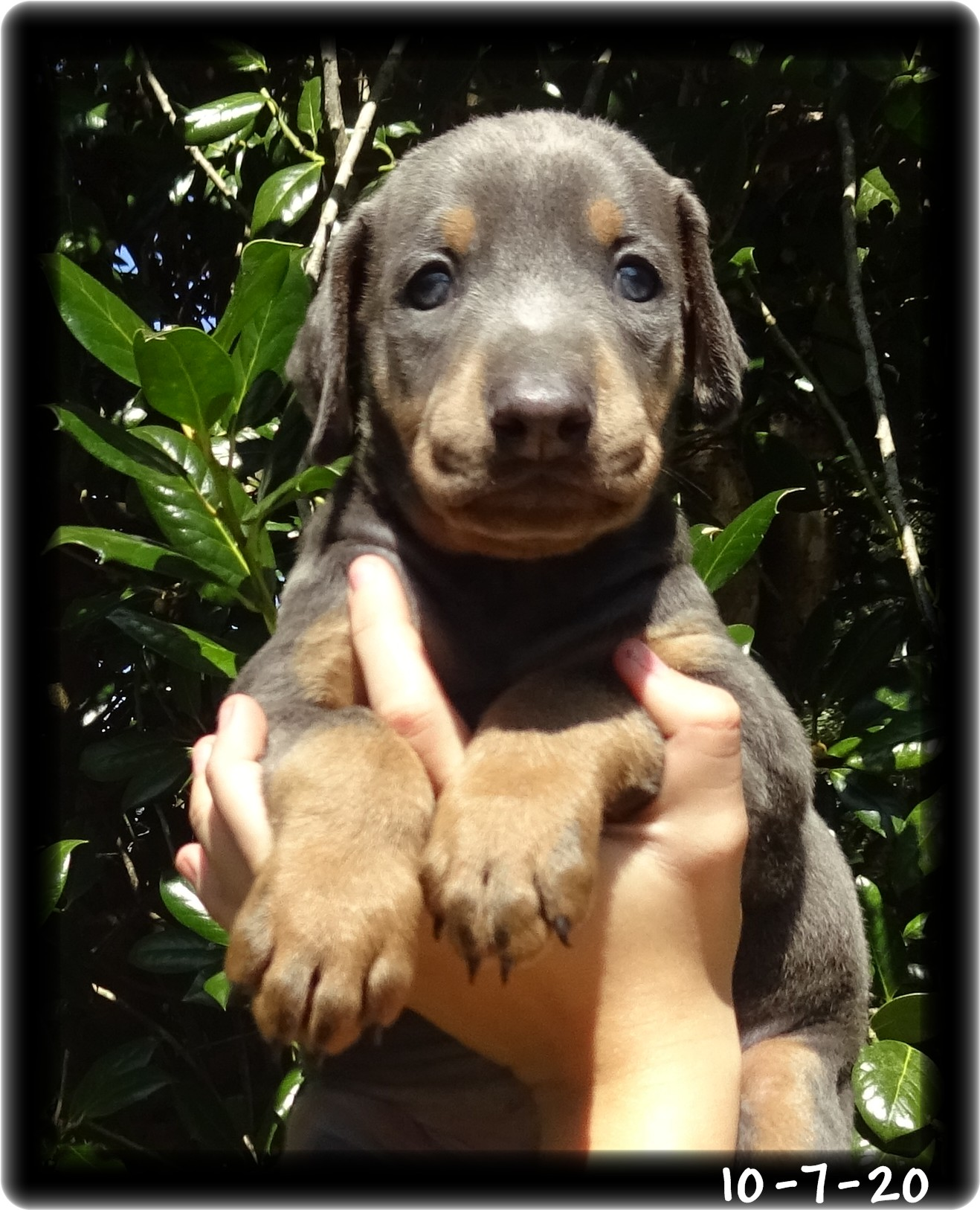 Louis ... Born 9-3-20 - Shelby's silver boy has a family and will be heading to Texas once he completes his schooling.