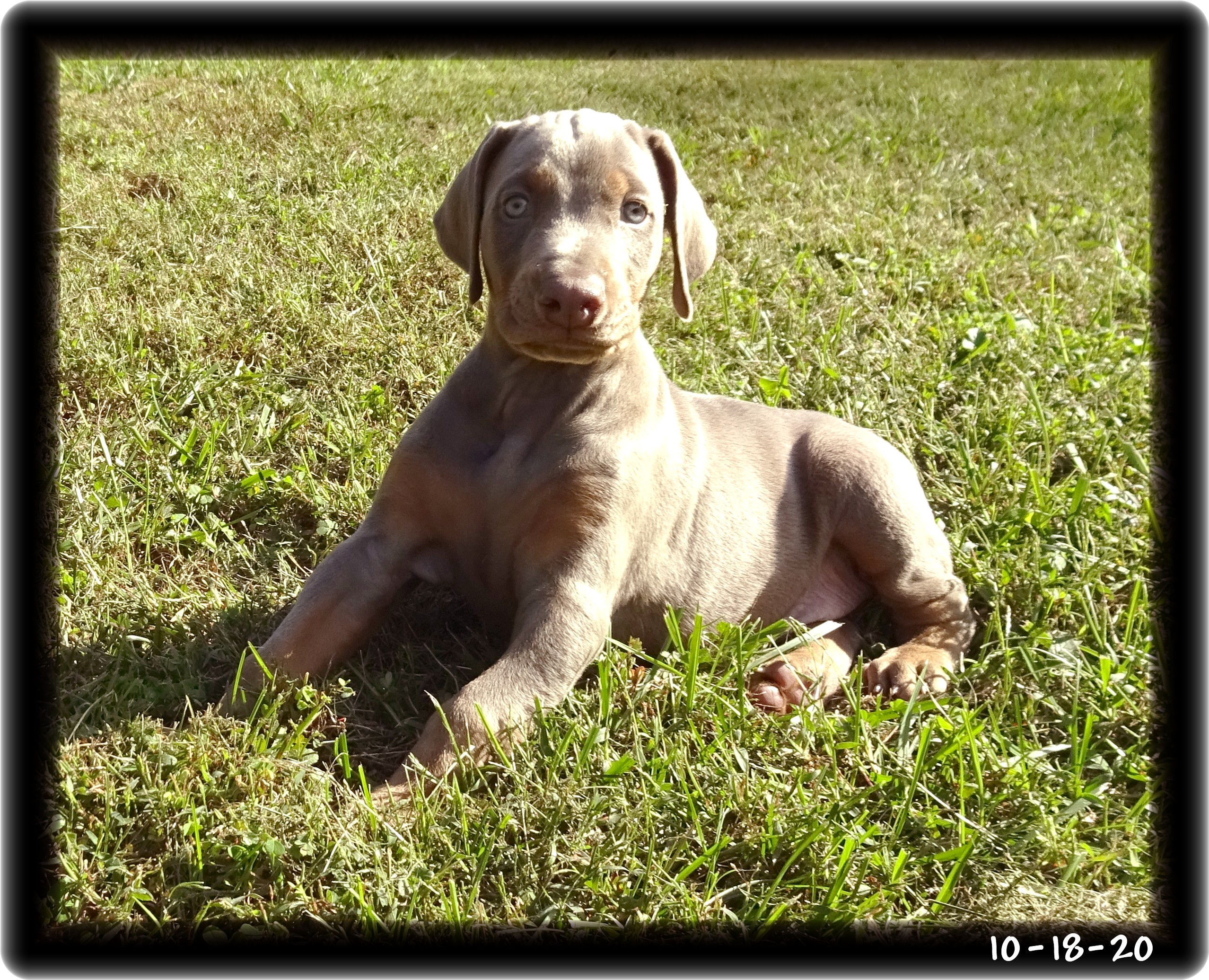 Madison...Shelby pup born 9-3-20 ... One of my blond girls (fawn & rust)- when she joined her new family in Connecticut a handsome Hoytt boy named Briggs was ready with gifts. Halfway meet was arranged.