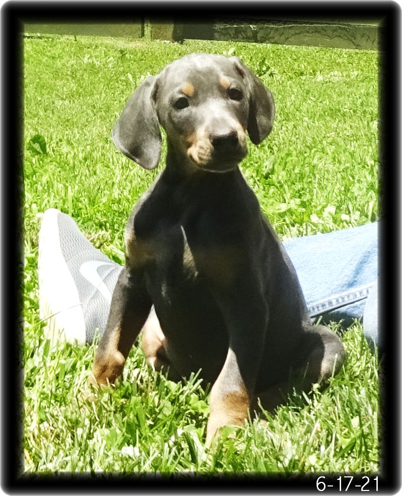 Isabella ...   This SILVER BLUE born 4-25-21 in training will join three other Hoytt Dobes already in resident out east.  Our first family to welcome all four true colors together once Izzy's training is finished. That's red, blue, black & fawn. WOW!