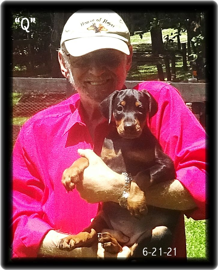 """""""Q"""" E TOO...A Miska & Kodiak pup born 4-25-21.  """"Q"""" is the grand pup of London reserved by the boss for the boss.  As with all his personal Dobes dating back to the 60's, each completed  the program we now call """"The Master's Course"""", as will Q."""