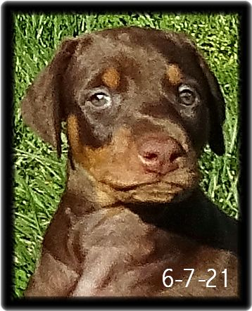 Shelby ... Miska & Kodiak red head GV born 4-25-21 - Will be joining a handsome fawn in Houston named Jet as soon as she like Jet completes the Master's Course as the boy did. Estimated placement Valentine's Day 2022