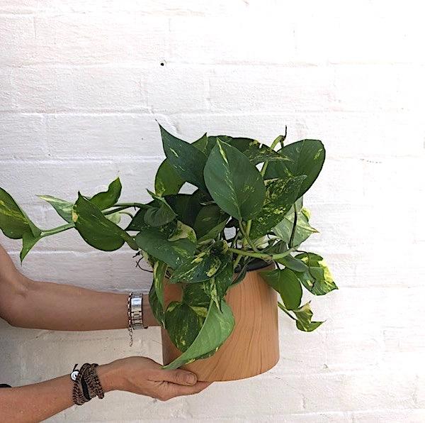 Devils Ivy or Solomon Islands Ivy Plant