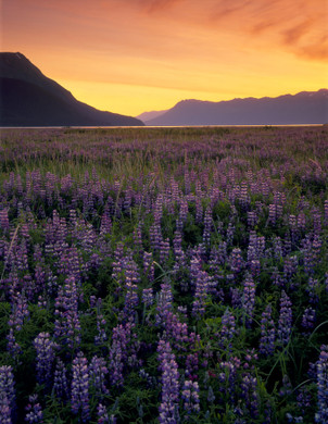 Lupine Sunset by Bruce Herman