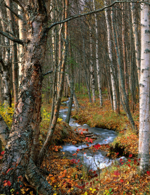 Meandering Through a Birch Forest by Bruce Herman