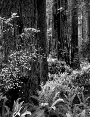 Redwoods in a Bed of Ferns by Bruce Herman