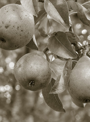 Three Pears Crepon France by Alison Lake