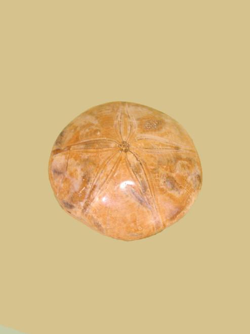 Fossil Sand Dollar