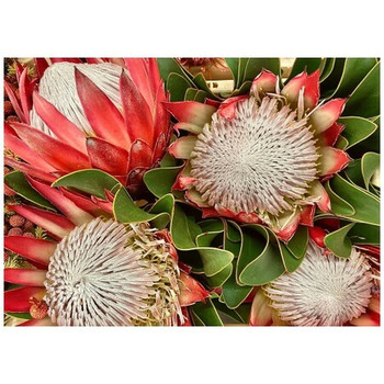Disposable Placemat - Pack of 24 - 4 King Proteas