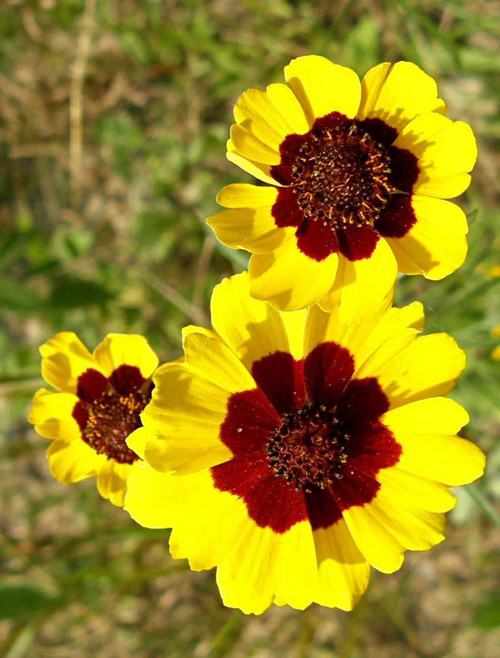 Flower Seeds/Coreopsis