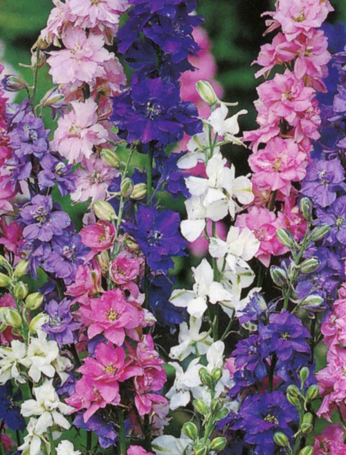Larkspur Giant Imperial Mix Seed