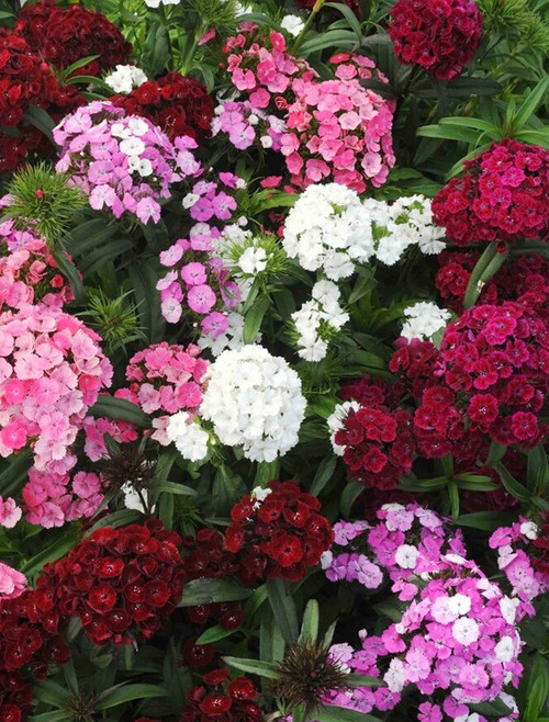 Dianthus, Sweet William, Single Mix Seed
