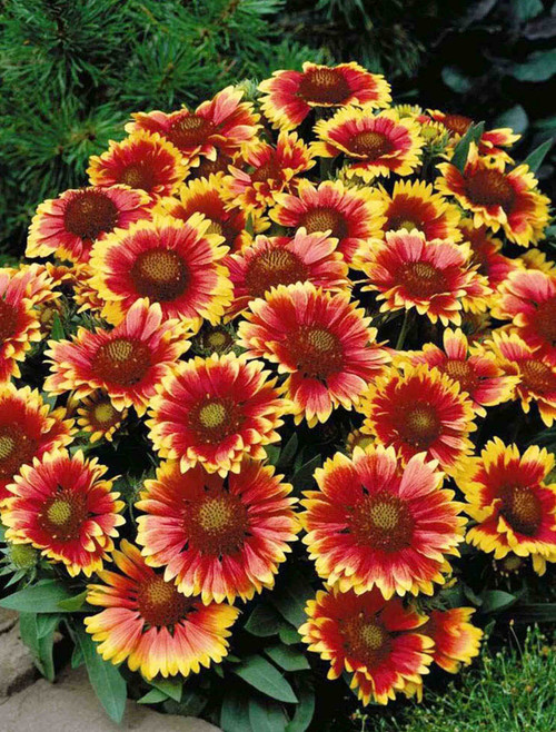 Flower Seeds/Gaillardia (Blanket Flower)