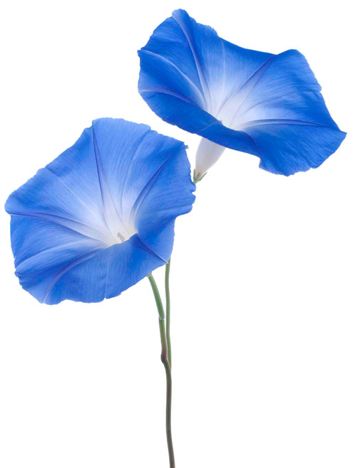 Morning Glory, Heavenly Blue Seed