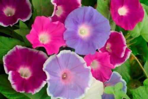 Flower Seeds;Flower Seeds/Morning Glory