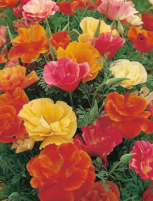 California Poppy, Mission Bells (Eschscholzia Californica) Seed