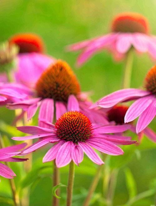 Flower Seeds/Purple Coneflower