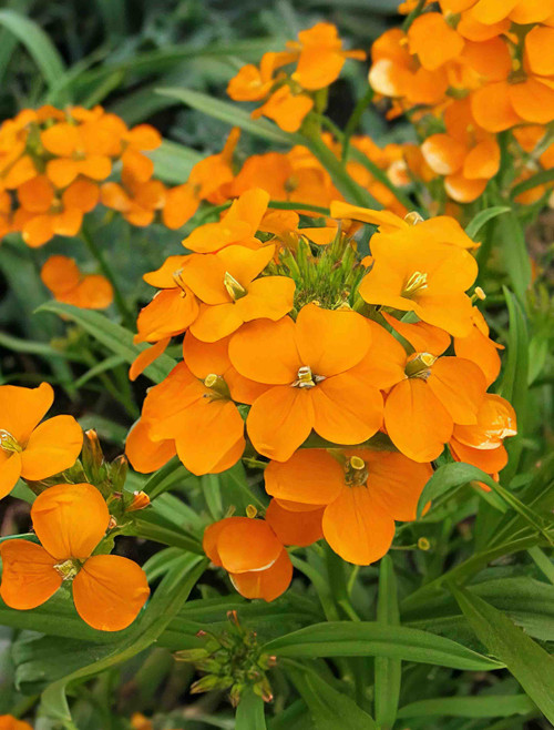 Flower Seeds/Siberian Wallflower