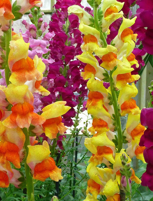Flower Seeds/Snapdragon Mix
