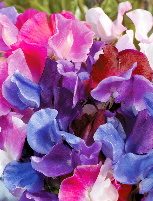 Flower Seeds/Sweet Pea