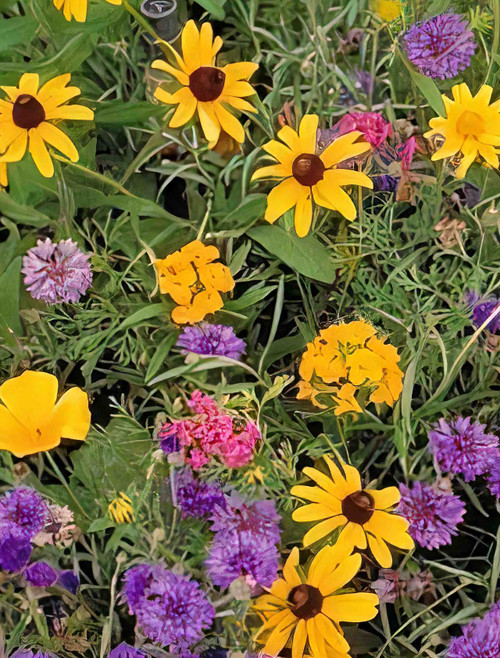 All Annual Wildflower Seed