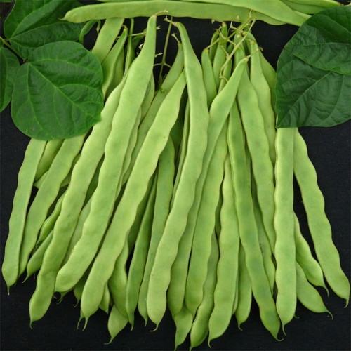 Vegetable Seeds/Beans/Bush