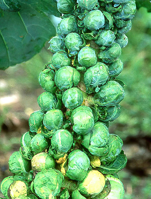 Catskill Brussel Sprout Seed