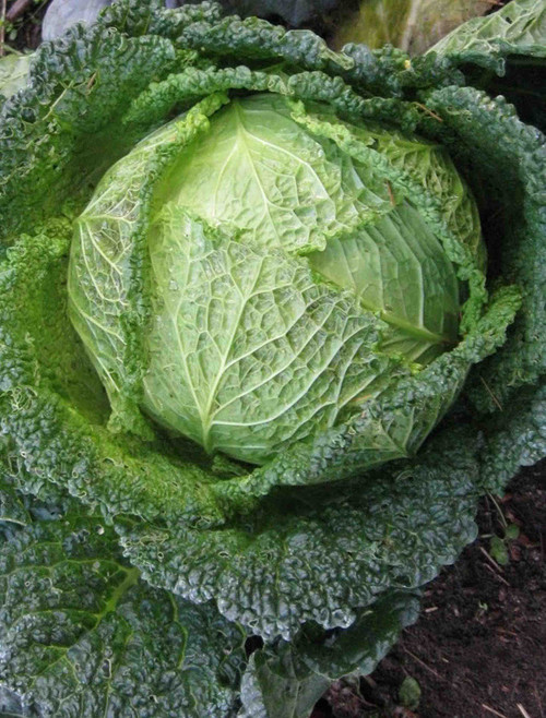 Golden Acre Cabbage Seed