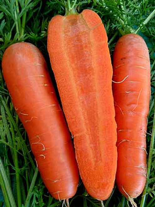 Imperator 58 Carrot Seed