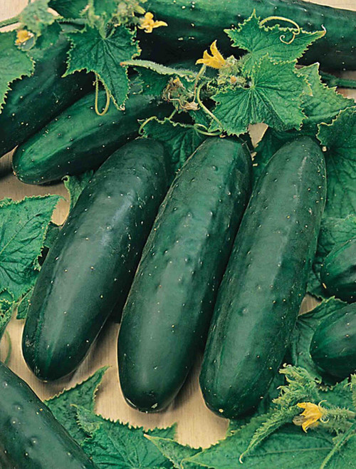 Marketmore 76 Cucumber Seed