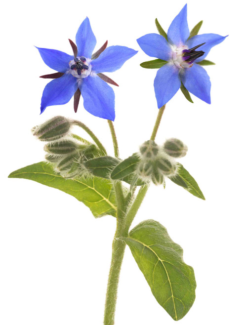 Borage Herb Seed