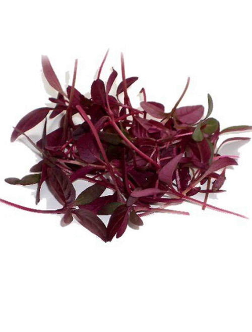 Amaranth, Red Garnett Herb