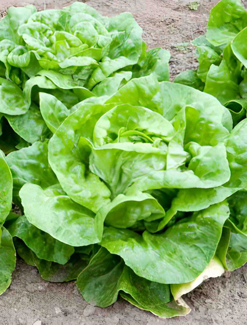 Vegetable Seeds/Lettuce/Butterhead