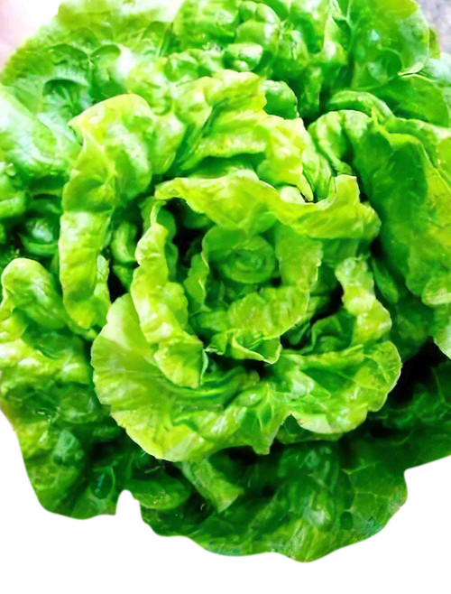 Tom Thumb Butterhead Lettuce Heirloom Seed